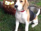 Новое изображение Вязка собак Предложение для вязки 37883513 в Тольятти