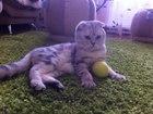 Фотография в Кошки и котята Вязка Шотландский вислоухий кот, нуждается и требует в Самаре 0