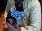 Скачать бесплатно foto Вязка собак Ищем девочку той-терьер мальчику 1,5года в г, Самара 38584659 в Самаре