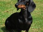 Изображение в Собаки и щенки Вязка собак Молодой кобель стандартной гладкошерстной в Самаре 0