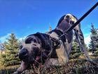 Смотреть фото Вязка собак Ищем немецкого дога кабеля для вязки, 52468952 в Самаре