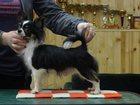 Изображение в Собаки и щенки Вязка собак Длинношёрстный маленький кобель породы чихуахуа в Санкт-Петербурге 5000