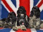 Изображение в Собаки и щенки Продажа собак, щенков Крепкие красивые щеночки шикарных кровей. в Санкт-Петербурге 0