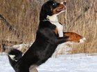 Изображение в Собаки и щенки Продажа собак, щенков Ищем хорошего друга и хозяина для щенка 8 в Санкт-Петербурге 0