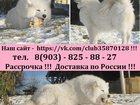 Фото в Собаки и щенки Продажа собак, щенков Крупных добротных щеночков самоедской лайки в Санкт-Петербурге 0