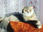 Фото в Кошки и котята Вязка Кошечка Марси 1 год и 2 месяца, имеет паспорт в Санкт-Петербурге 0