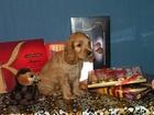 Фотография в Собаки и щенки Продажа собак, щенков Щенки английского кокера спаниеля. В продаже в Санкт-Петербурге 30000