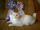 Фотография в Кошки и котята Вязка Молодой скоттиш-страйт , крупный, окрас-красная в Санкт-Петербурге 0