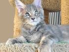 Фото в Кошки и котята Продажа кошек и котят Продается котенок мейн-кун Джессика, окрас в Санкт-Петербурге 0