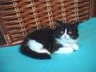 Изображение в Кошки и котята Продажа кошек и котят Малышка Элис яркая красоточка от породистых в Санкт-Петербурге 5500
