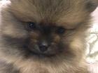 Фотография в Собаки и щенки Продажа собак, щенков Девочка и мальчик мишки, 2 месяца, окрас в Санкт-Петербурге 45000