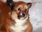 Фото в Собаки и щенки Продажа собак, щенков Продается девочка вельш корги пемброк, для в Санкт-Петербурге 0