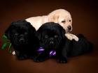 Изображение в Собаки и щенки Продажа собак, щенков Профессиональный питомник предлагает к продаже в Санкт-Петербурге 45000