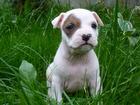 Фото в Собаки и щенки Продажа собак, щенков Великолепный помет американских стаффордов, в Санкт-Петербурге 18000