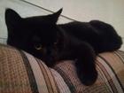Фотография в Кошки и котята Вязка Молодой, черный кот ищет подружку для вязки. в Санкт-Петербурге 0