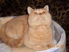 Фото в Кошки и котята Вязка Шотландский короткошерстный котик приглашает в Санкт-Петербурге 200