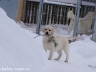 Фото в Собаки и щенки Продажа собак, щенков Питомник в спб предлагает шикарных высокопородных в Санкт-Петербурге 45000