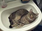 Фото в   Молодой очень красивый и умный кот скучает в Санкт-Петербурге 0