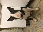 Изображение в Собаки и щенки Вязка собак Мальчик 1 год 7 мес. Стандартный буль. Трехцветный. в Санкт-Петербурге 0