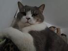 Изображение в Кошки и котята Вязка Кот Tanais Diamond Da Vinci развязан ищет в Санкт-Петербурге 2000