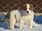 Изображение в Собаки и щенки Продажа собак, щенков Крупные высокопородные щенки среднеазиатской в Санкт-Петербурге 0
