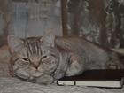 Фотография в Кошки и котята Вязка Домашняя Кошечка британка 10мес. , серебряного в Санкт-Петербурге 0