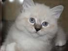 Фотография в Кошки и котята Продажа кошек и котят Питомник предлагает очаровательных породистых в Санкт-Петербурге 0