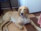 Смотреть изображение Вязка собак Ищу подругу 38230670 в Санкт-Петербурге
