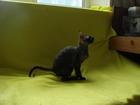Продажа очаровательных котят породы корниш рекс
