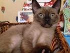 Бурма европейская, котята, мальчики и девочка, возраст 3 месяца
