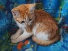 Ласковый котёнок мальчик рыже-белый