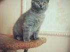 Шотландские голубые котятки-медвежатки