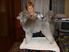 Увидеть фотографию Вязка собак предлагается кобель для вязки 68384729 в Санкт-Петербурге