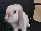 Смотреть фото Грызуны декоративные кролики продажа 68524679 в Санкт-Петербурге