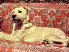 Увидеть фото  Умнейший рассудительный щенок 5 мес 68615947 в Санкт-Петербурге