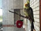Свежее фото Птички и клетки Продаются молодые кареллы 68976899 в Санкт-Петербурге