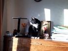 Смотреть foto Вязка кошек Ищу подругу для своего кота в первый раз 69108818 в Санкт-Петербурге