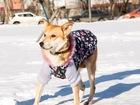 Увидеть фотографию  Маленькая изящная собачка, похожая на лисичку 69138660 в Санкт-Петербурге