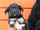 Новое фото  Крошечные щенки от мелкой собачки ищут дом 76898575 в Санкт-Петербурге