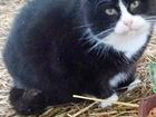 Увидеть фотографию Отдам даром - приму в дар Милый толстенький котик в ответственные руки 83630583 в Санкт-Петербурге