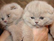 вислоухие шотландские котята купить Продаю ВИСЛОУХИХ и ПРЯМОУХИХ котят, лилового