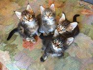 Клубные котята породы Мейн кун редкого окраса Продаются котята знаменитого клуба