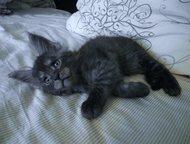 Продаются котята мейн кун Предлагаются к продаже очаровательные котята породы ме