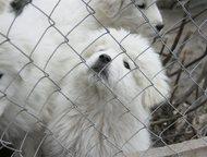 Продаются щенки Мареммо-абруццкой овчарки Продаются щенки Мареммо-абруццкой овча