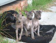Щенки Мексиканской голой собаки-миниатюра На продажу предлагаются щенки Ксолоицк