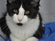 Санкт-Петербург: Чистокровные котята Мейн_кун с документами Питомник кошек породы Менй-Кун Effecta предлагает к продаже шикарных чистокровных котят. Очень крупные! О