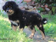 Бурят-Монгольская собака Хотошо Щенок Кобель Предлагаем для продажи щенка Хотошо