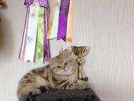 Британский котик драгоценного окраса г. Санкт-Петербург. Предлагается к продаже