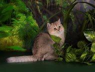Британский котенок золотой Питомник предлагает красивого британского котенка ( мальчика) окраса золотой тикированный ( золотая шиншила). Родился 25. 0, Санкт-Петербург - Продажа кошек и котят