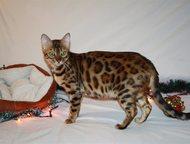 Бенгальские котята Открыты к продаже и резервированию бенгальские котятки от род